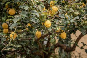 Veoma lagan i osvježavajući recept: Čizkejk sa limunom